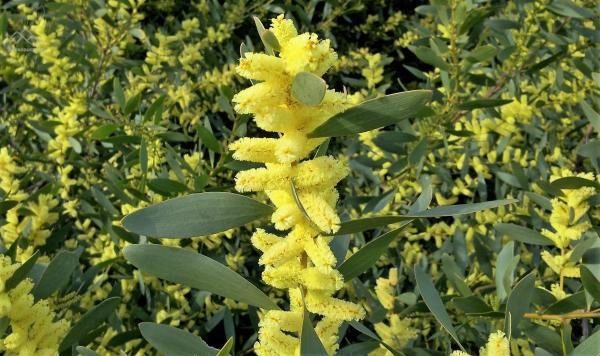 Acacia-longifolia----Elizabete-Marchante